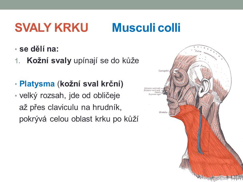 SVALY KRKU Musculi colli