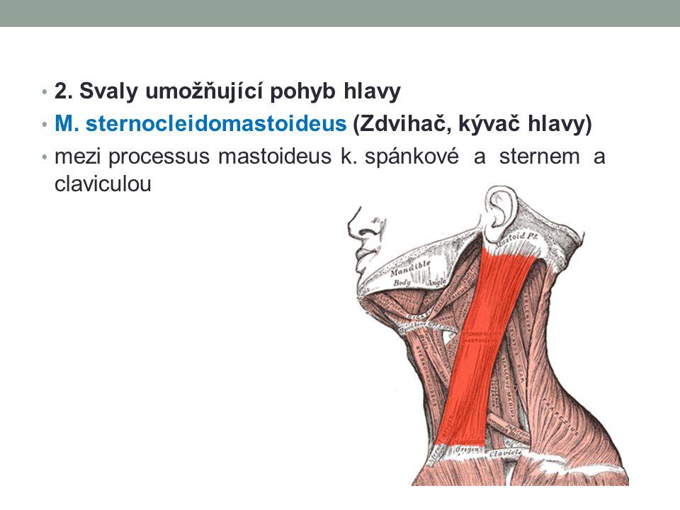 2. Svaly umožňující pohyb hlavy