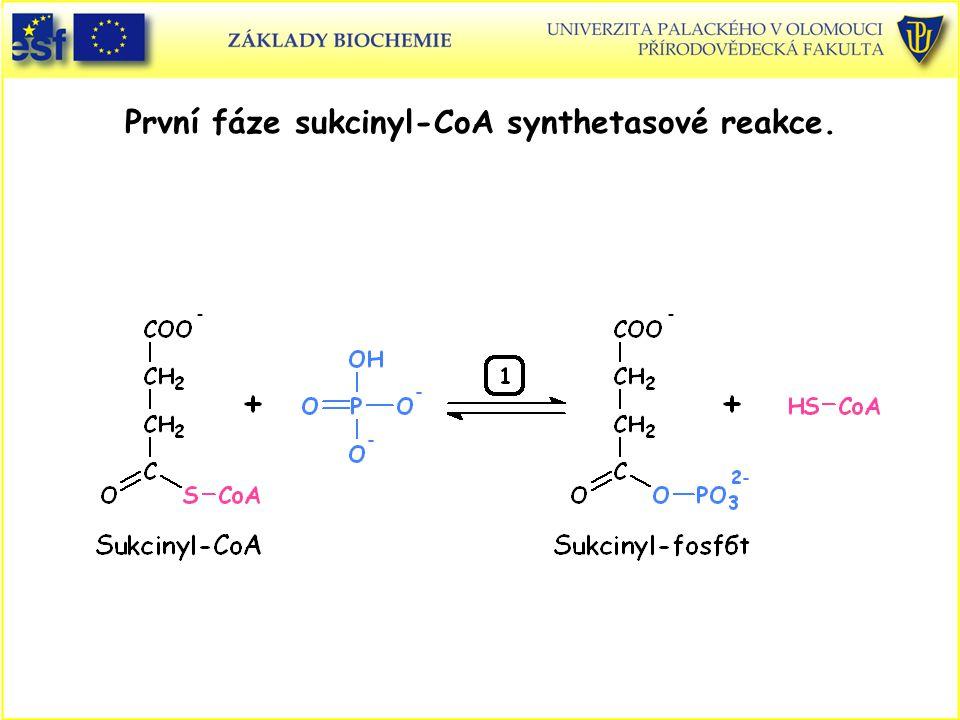 První fáze sukcinyl-CoA synthetasové reakce.