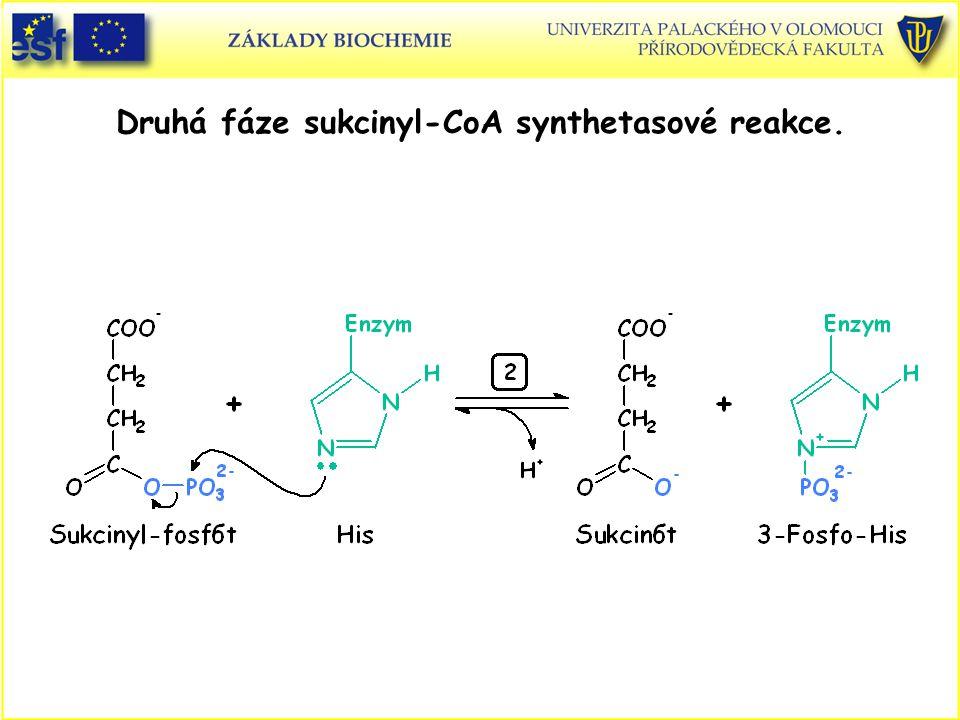 Druhá fáze sukcinyl-CoA synthetasové reakce.