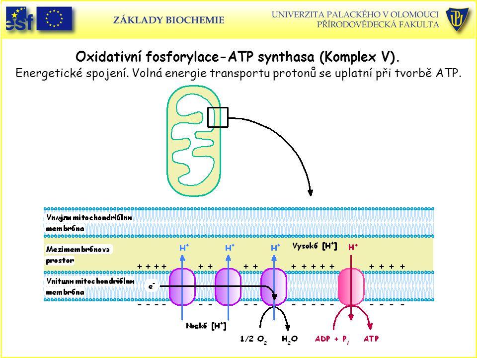 Oxidativní fosforylace-ATP synthasa (Komplex V). Energetické spojení