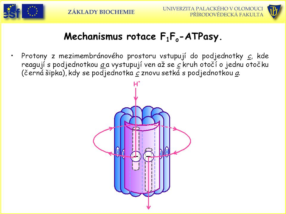 Mechanismus rotace F1Fo-ATPasy.