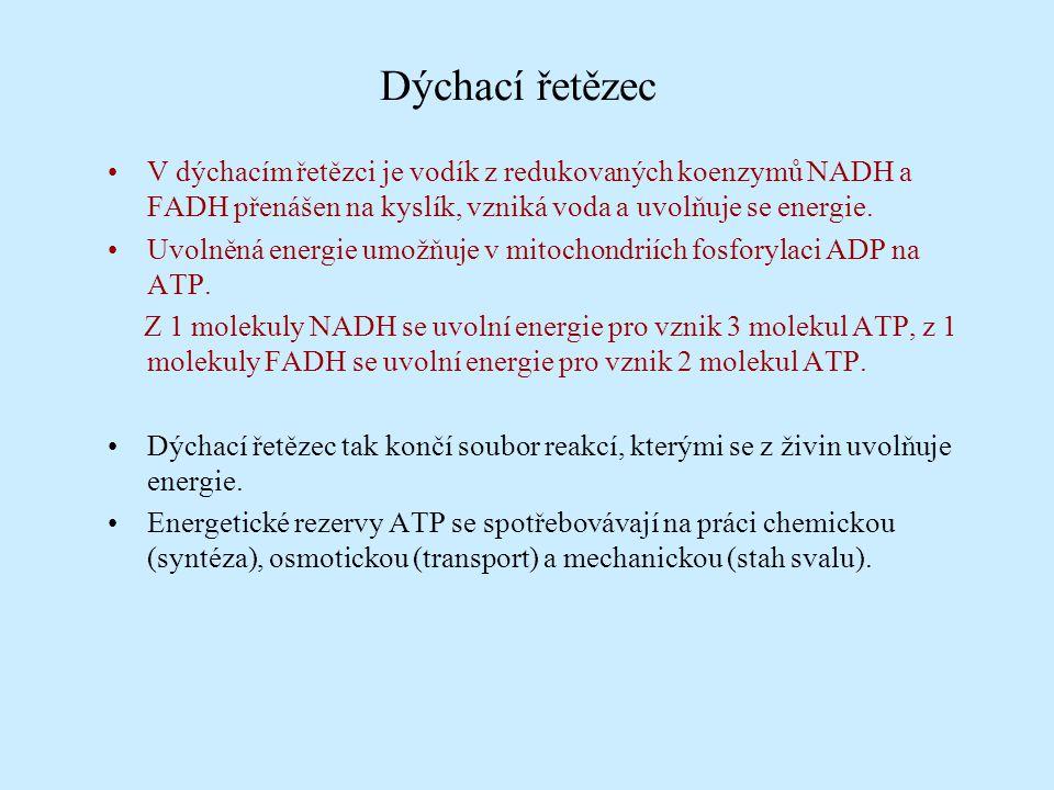Dýchací řetězec V dýchacím řetězci je vodík z redukovaných koenzymů NADH a FADH přenášen na kyslík, vzniká voda a uvolňuje se energie.