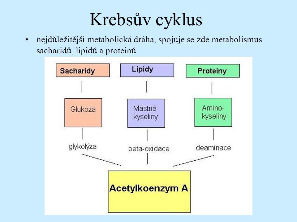 Krebsův cyklus nejdůležitější metabolická dráha, spojuje se zde metabolismus sacharidů, lipidů a proteinů.