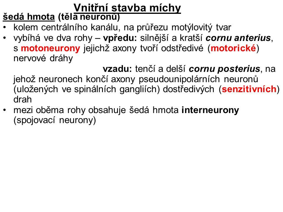 Vnitřní stavba míchy šedá hmota (těla neuronů)