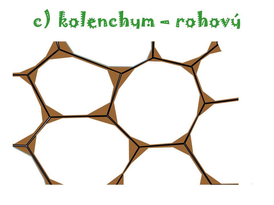 kolenchym – rohový autor: Jan Marek