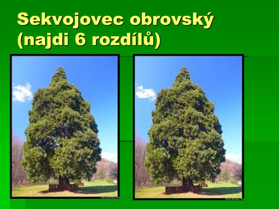 Sekvojovec obrovský (najdi 6 rozdílů)