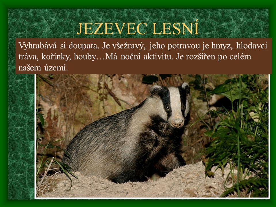 JEZEVEC LESNÍ Vyhrabává si doupata. Je všežravý, jeho potravou je hmyz, hlodavci. tráva, kořínky, houby…Má noční aktivitu. Je rozšířen po celém.