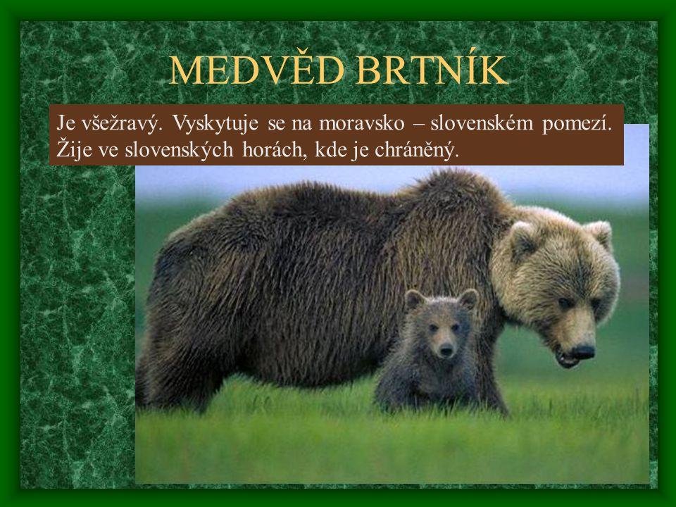 MEDVĚD BRTNÍK Je všežravý. Vyskytuje se na moravsko – slovenském pomezí.