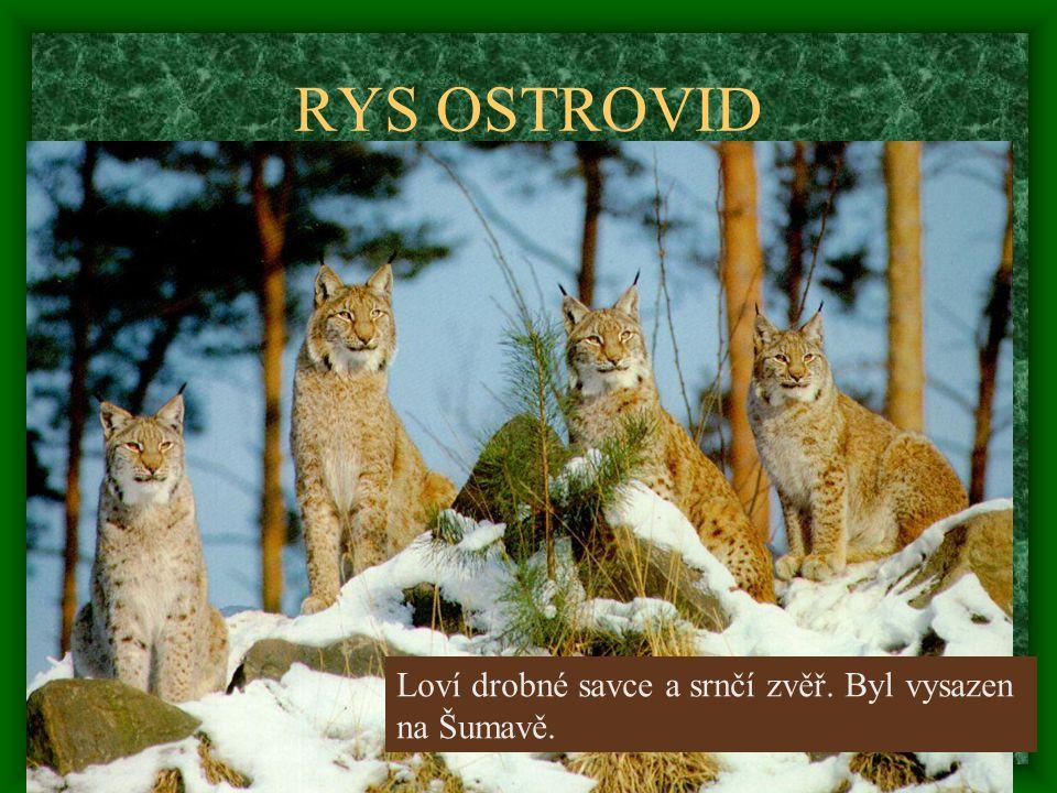 RYS OSTROVID Loví drobné savce a srnčí zvěř. Byl vysazen na Šumavě.