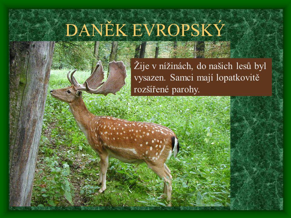 DANĚK EVROPSKÝ Žije v nížinách, do našich lesů byl
