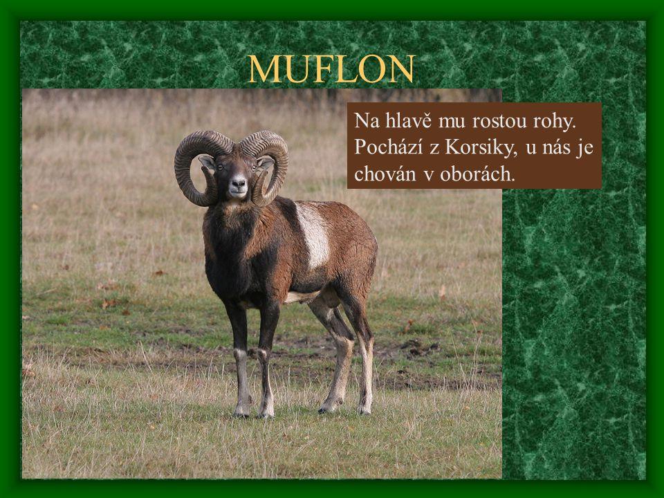MUFLON Na hlavě mu rostou rohy. Pochází z Korsiky, u nás je