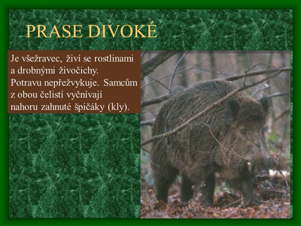 PRASE DIVOKÉ Je všežravec, živí se rostlinami a drobnými živočichy.