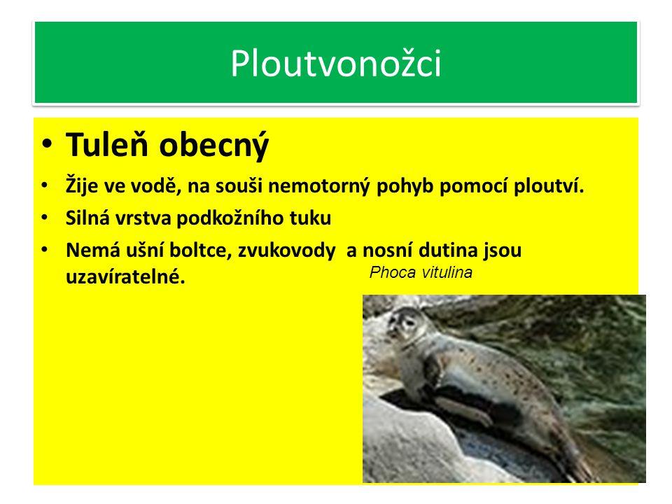 Ploutvonožci Tuleň obecný