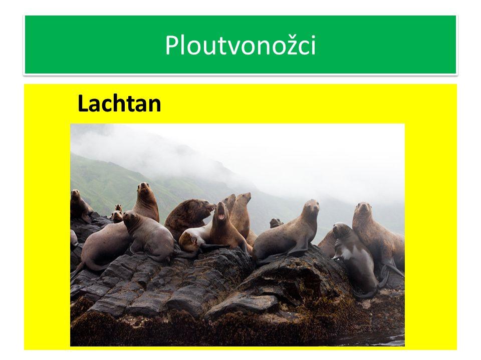 Ploutvonožci Lachtan