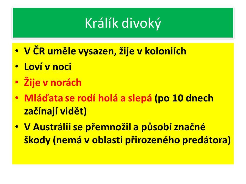 Králík divoký V ČR uměle vysazen, žije v koloniích Loví v noci
