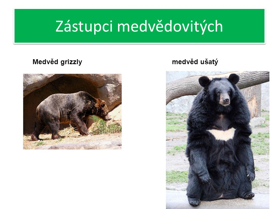 Zástupci medvědovitých