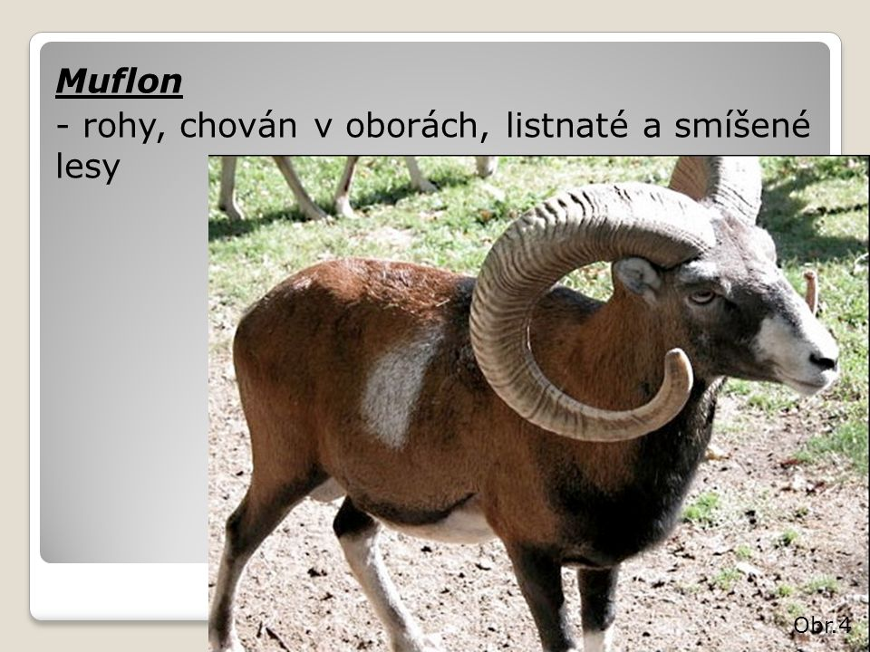 Muflon - rohy, chován v oborách, listnaté a smíšené lesy