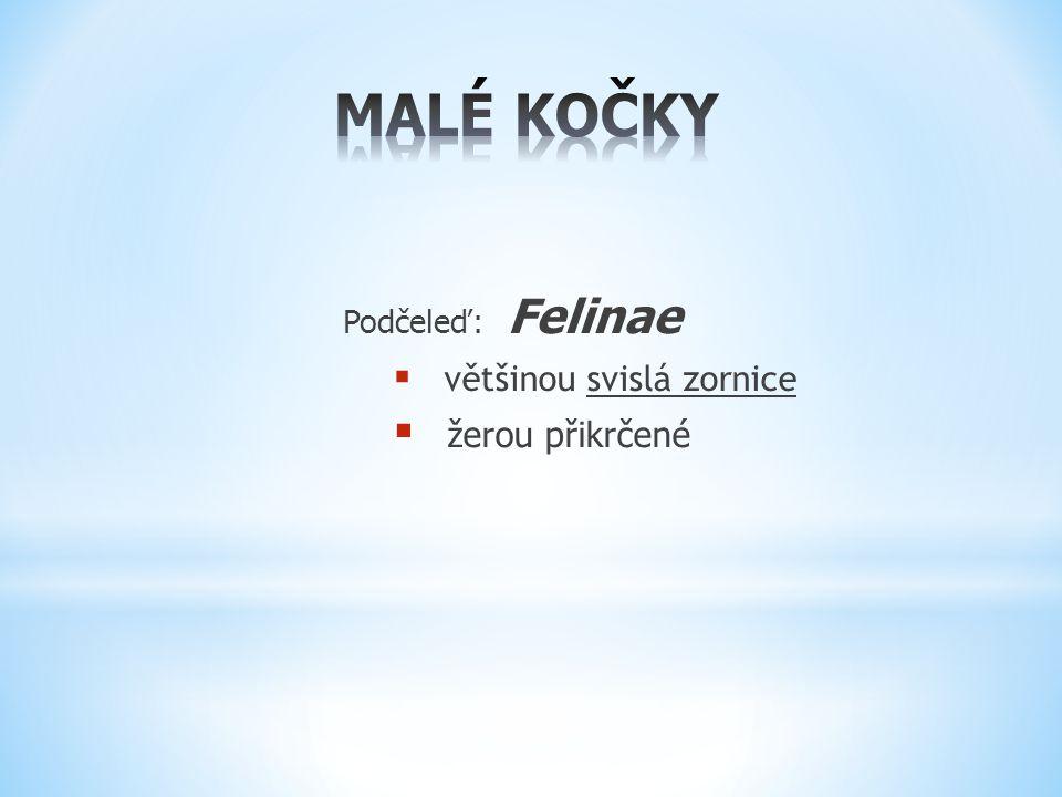MALÉ KOČKY Podčeleď: Felinae většinou svislá zornice žerou přikrčené