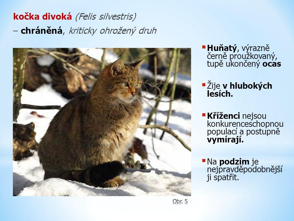 kočka divoká (Felis silvestris) – chráněná, kriticky ohrožený druh