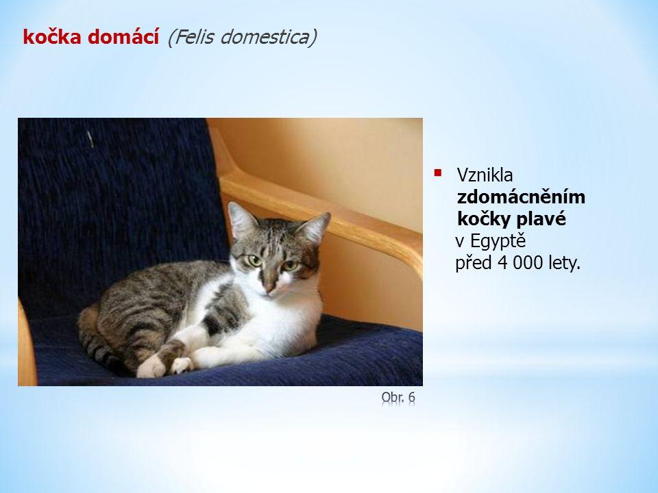 kočka domácí (Felis domestica)