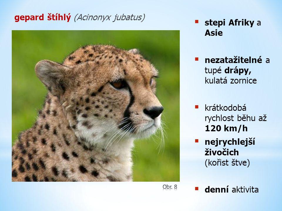 gepard štíhlý (Acinonyx jubatus) stepi Afriky a Asie