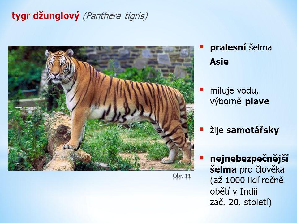 tygr džunglový (Panthera tigris)