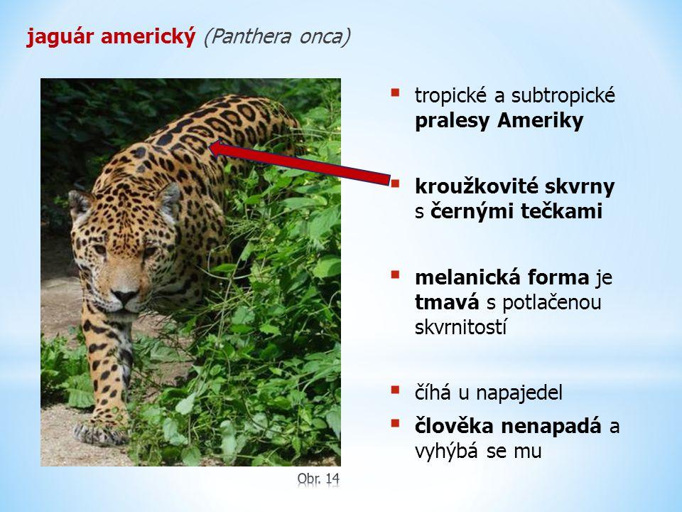 jaguár americký (Panthera onca)