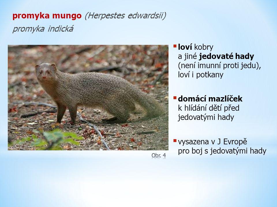 promyka mungo (Herpestes edwardsii) promyka indická