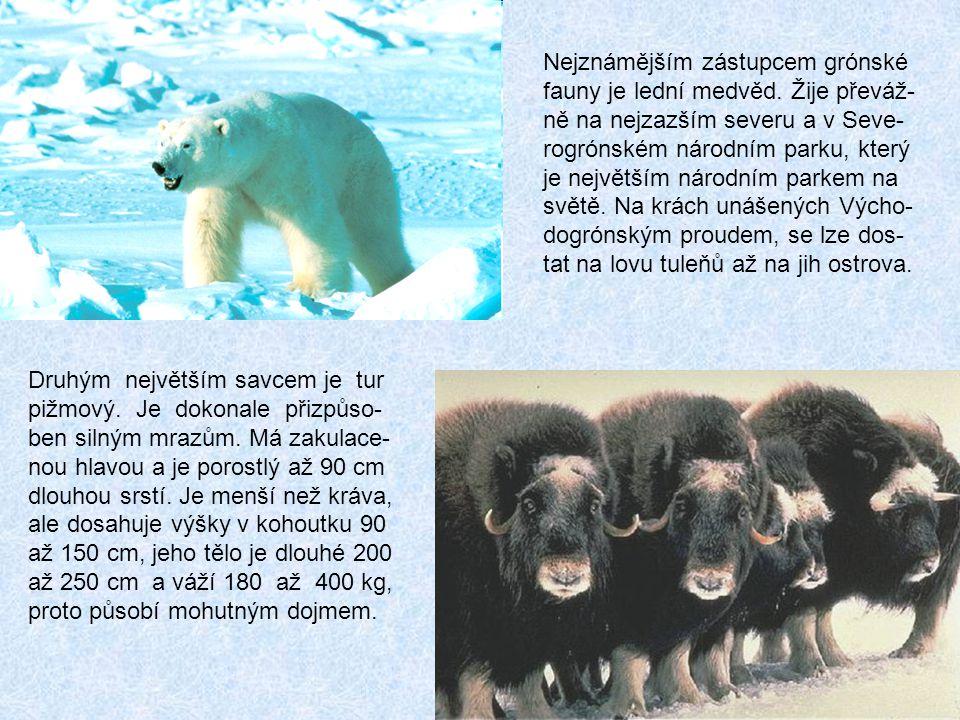 Nejznámějším zástupcem grónské fauny je lední medvěd