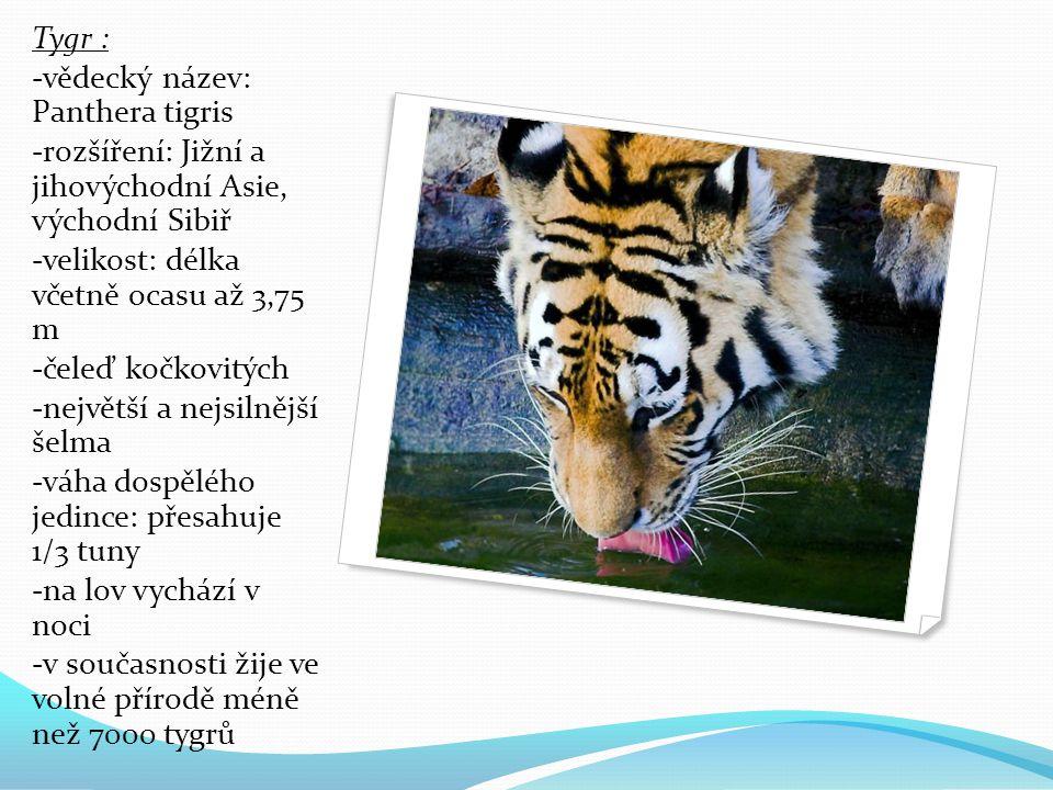 Tygr : -vědecký název: Panthera tigris. -rozšíření: Jižní a jihovýchodní Asie, východní Sibiř. -velikost: délka včetně ocasu až 3,75 m.