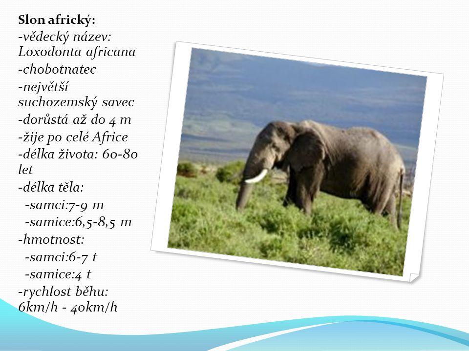 -vědecký název: Loxodonta africana -chobotnatec