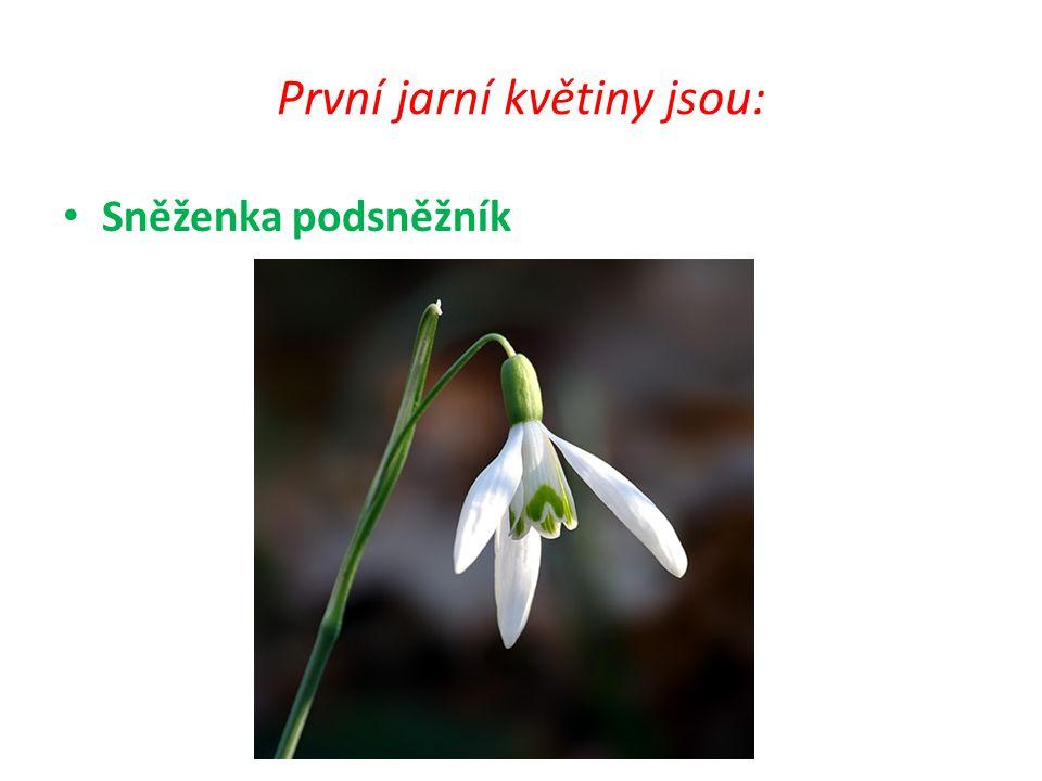 První jarní květiny jsou:
