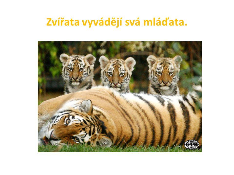 Zvířata vyvádějí svá mláďata.