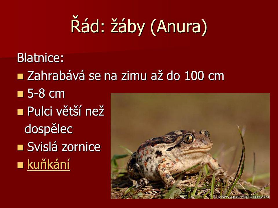 Řád: žáby (Anura) Blatnice: Zahrabává se na zimu až do 100 cm 5-8 cm