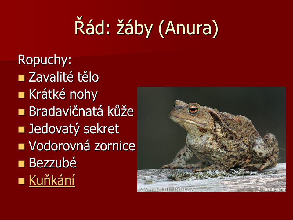 Řád: žáby (Anura) Ropuchy: Zavalité tělo Krátké nohy Bradavičnatá kůže