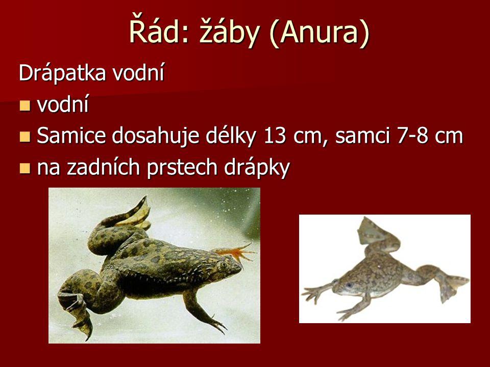 Řád: žáby (Anura) Drápatka vodní vodní