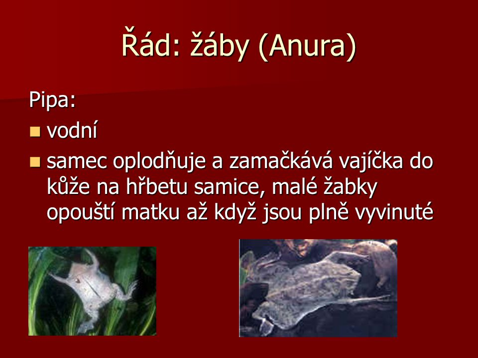 Řád: žáby (Anura) Pipa: vodní