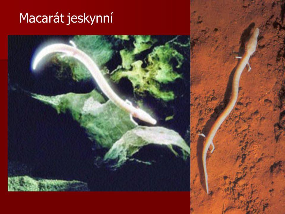 Macarát jeskynní
