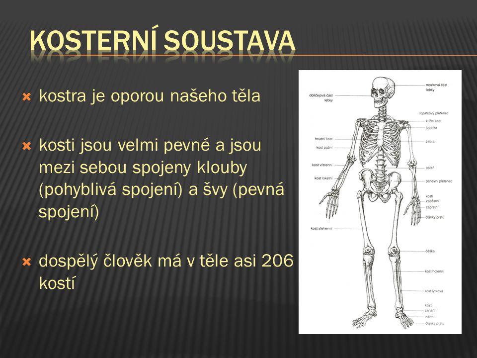kosterní soustava kostra je oporou našeho těla