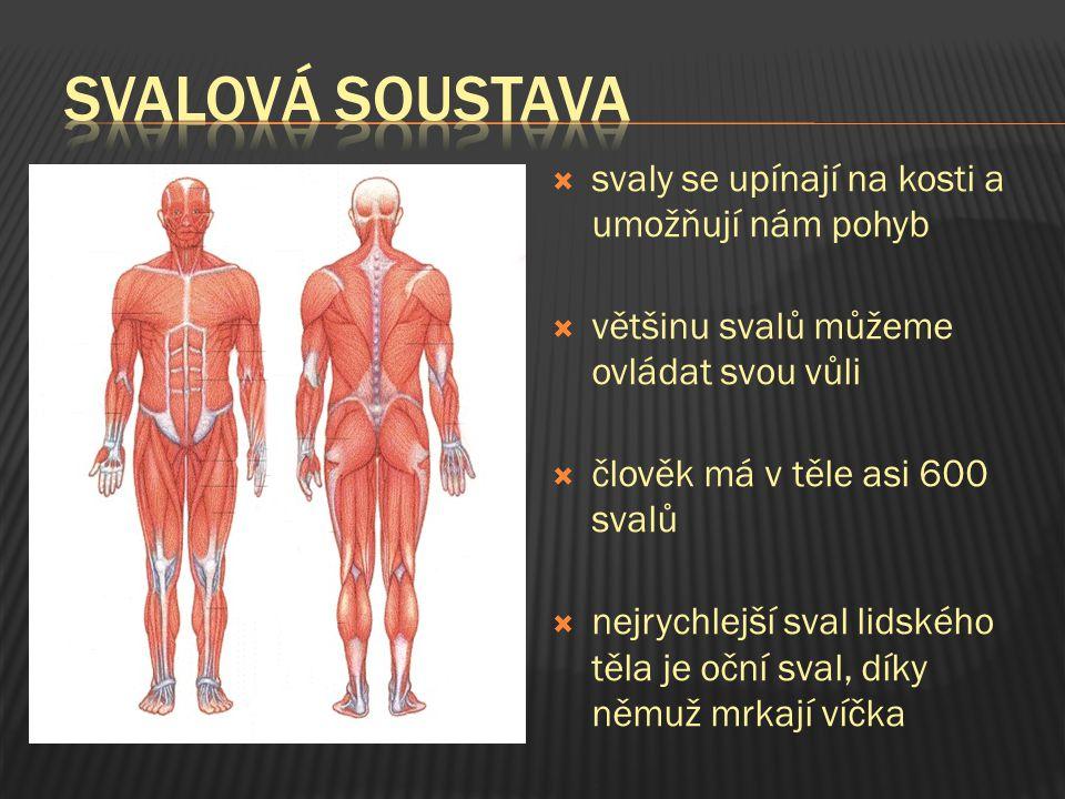 svalová soustava svaly se upínají na kosti a umožňují nám pohyb