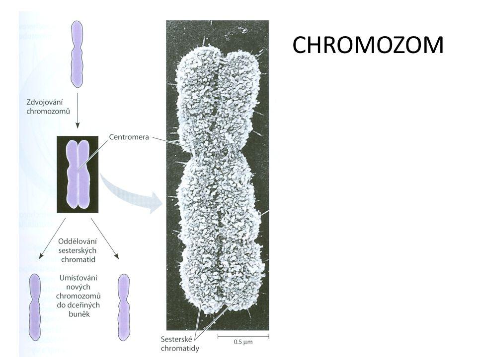 CHROMOZOM