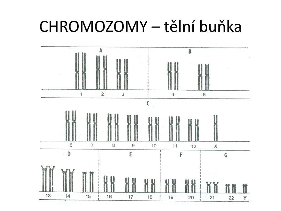 CHROMOZOMY – tělní buňka