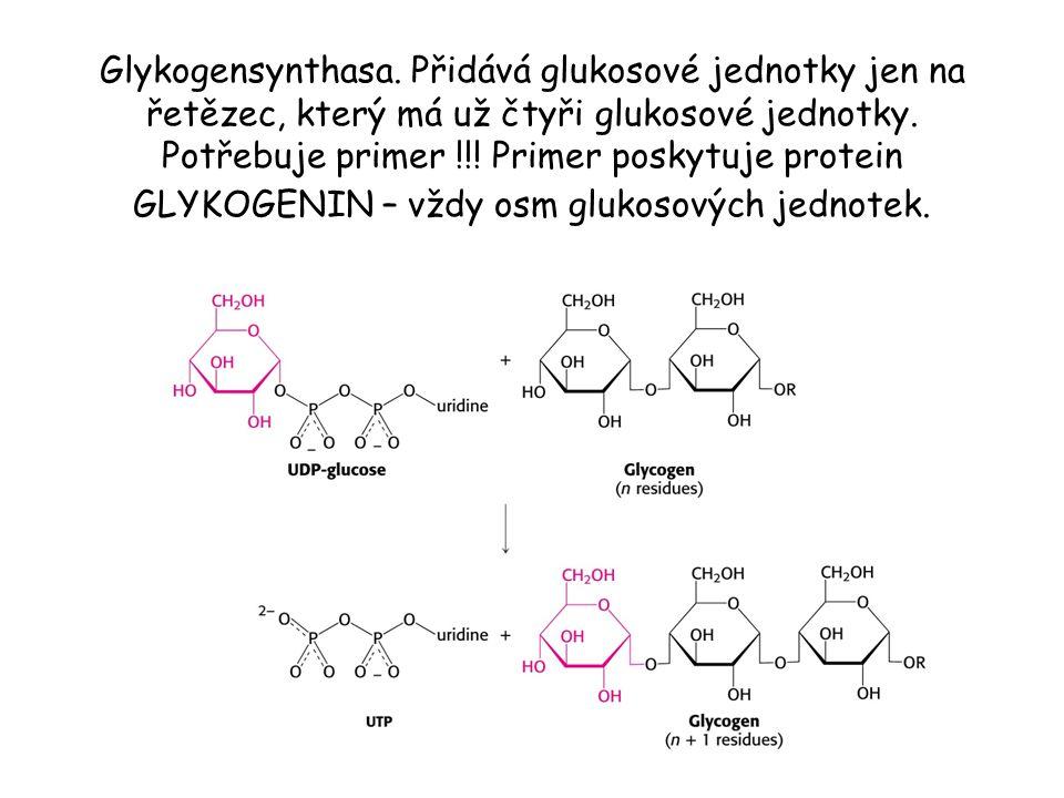 Glykogensynthasa. Přidává glukosové jednotky jen na řetězec, který má už čtyři glukosové jednotky.