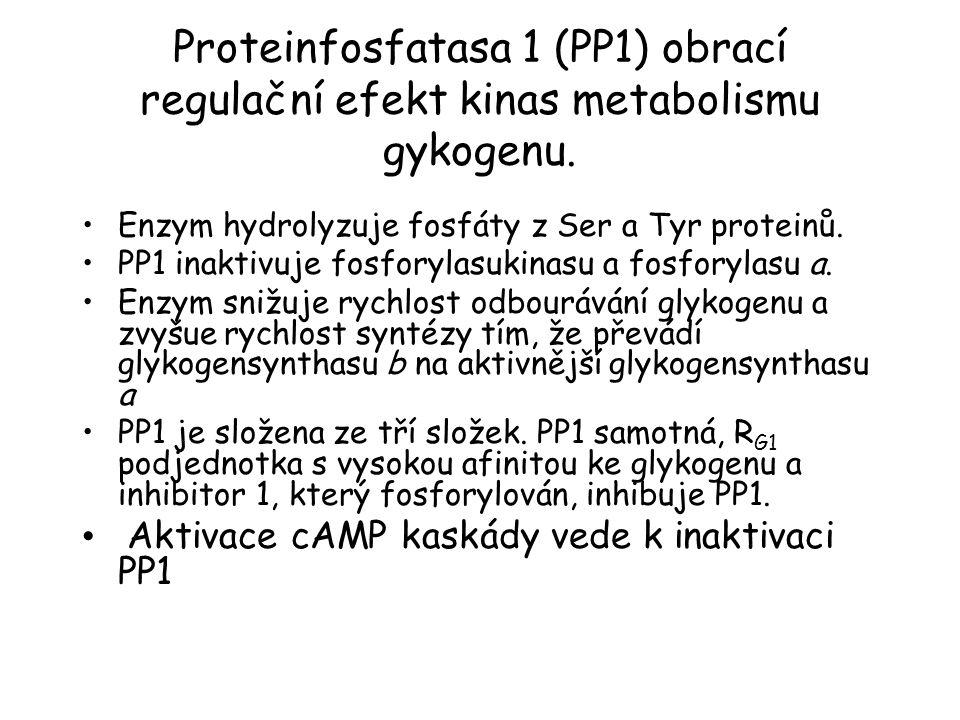Proteinfosfatasa 1 (PP1) obrací regulační efekt kinas metabolismu gykogenu.