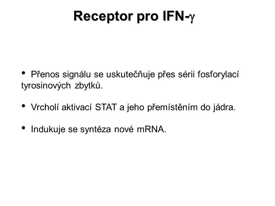 Receptor pro IFN-g Přenos signálu se uskutečňuje přes sérii fosforylací tyrosinových zbytků. Vrcholí aktivací STAT a jeho přemístěním do jádra.
