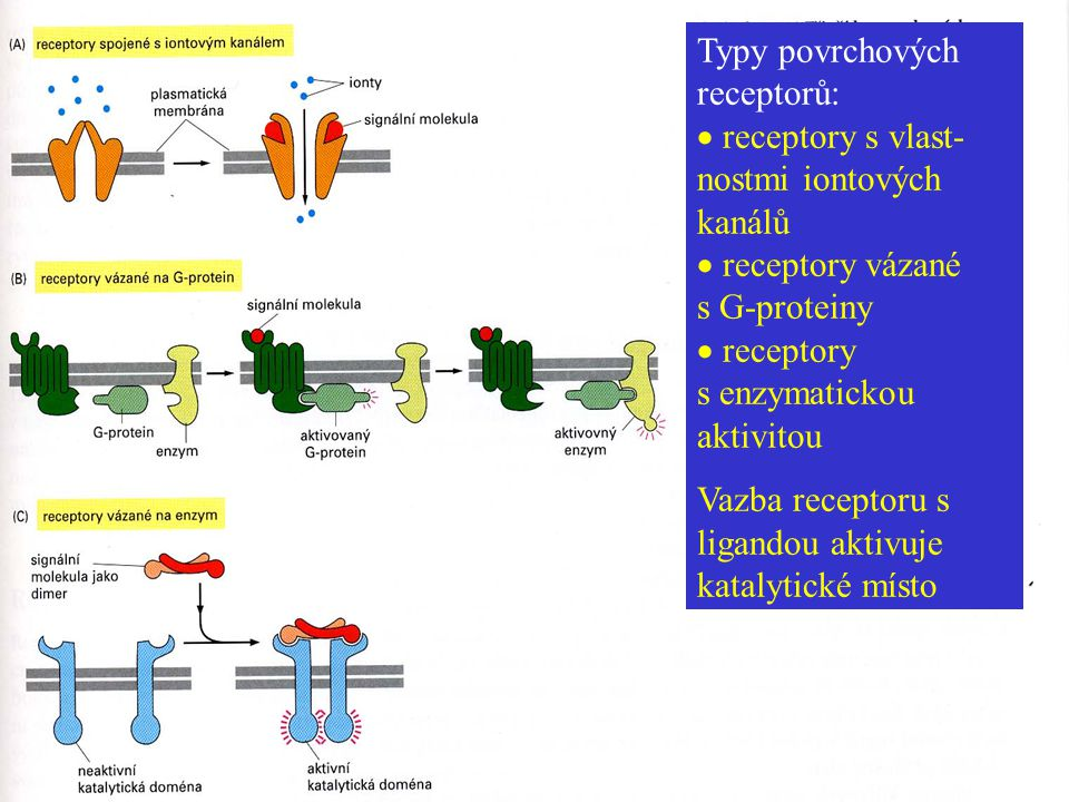 Typy povrchových receptorů:  receptory s vlast-nostmi iontových kanálů  receptory vázané s G-proteiny  receptory s enzymatickou aktivitou