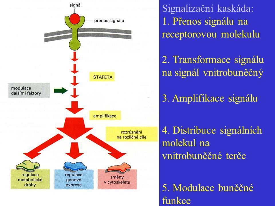 Signalizační kaskáda: 1. Přenos signálu na receptorovou molekulu. 2