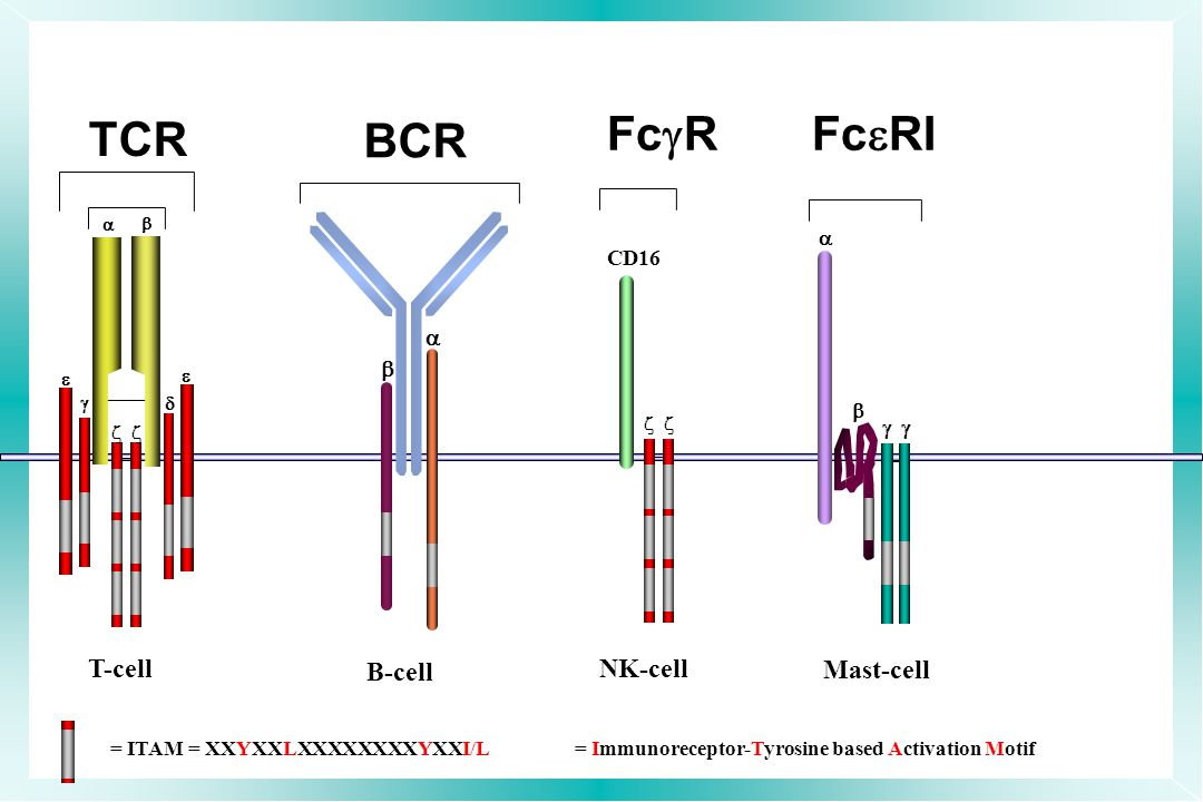 FcgR FceRI TCR BCR B-cell NK-cell Mast-cell T-cell   CD16   