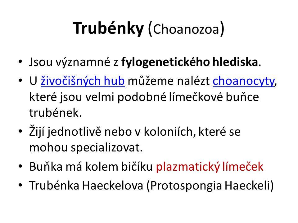 Trubénky (Choanozoa) Jsou významné z fylogenetického hlediska.